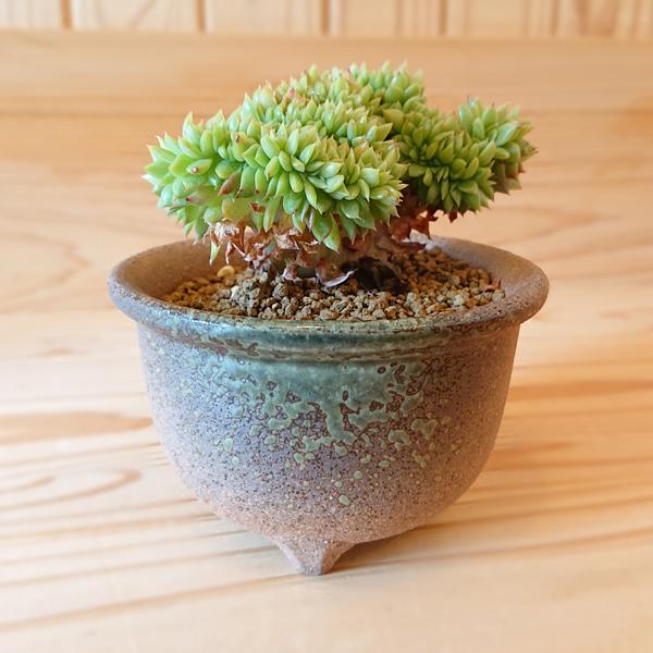 Echeveria gilva crist. 多肉植物: エケベリア ギルバ綴化 瀬戸焼鉢* 丸鉢 和 陶器鉢