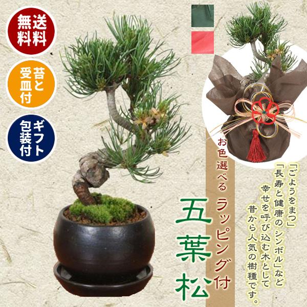 小品盆栽:五葉松(瀬戸焼黒丸鉢)* 【苔と受け皿 ラッピング 付き】【ラッピングのお色選べる】【送料無料】bonsai