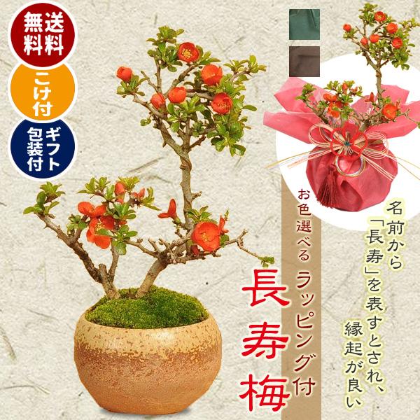 小品盆栽:長寿梅(瀬戸焼小鉢茶丸)* 【苔とラッピング付】【ラッピングのお色選べる】【送料無料】bonsai