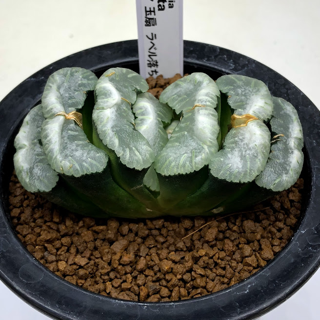 Haworthia truncata 限定タイムセール 多肉植物:ハオルチア 玉扇 ラベル落ち 一品限り 現品 贈答 幅8.5cm