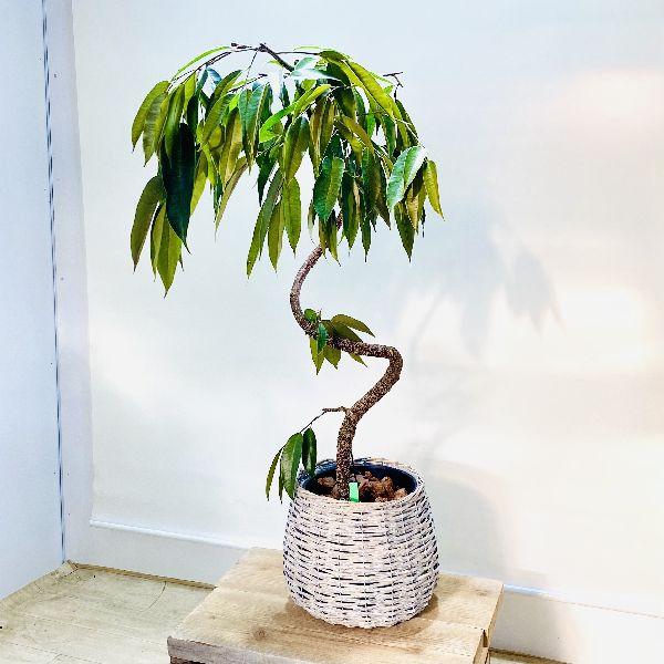 市販 おしゃれなカゴ付き おしゃれ 40%OFFの激安セール 観葉植物:フィカス アムステルダム 2梱包でお届け 鉢カバー