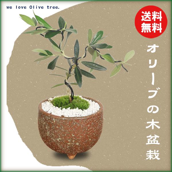 【敬老の日 ギフト】ミニ盆栽:オリーブの木盆栽*(信楽焼小鉢)(苔・寒水付)【送料無料】【即日出荷可】bonsai