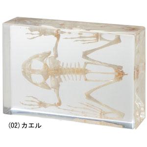 リアル骨格標本【カエル】【鳥】【代引き手数料無料】【送料無料】