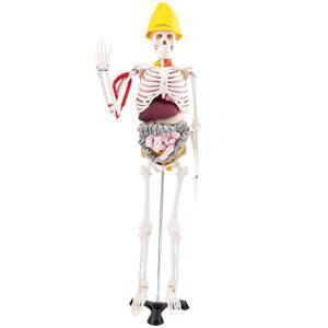 全身骨格模型「筋臓くん」消化管バージョン【代引き手数料無料】【送料無料】