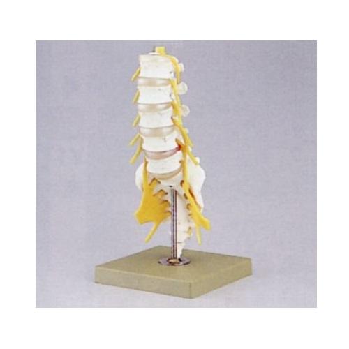 【送料無料】 腰椎模型 W36×D18×H18cm 0.8kg QS66/1 ソムソ