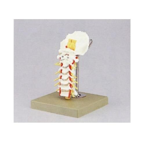 【送料無料】 頸椎模型 W22×D18×H21cm 0.5kg QS65 ソムソ