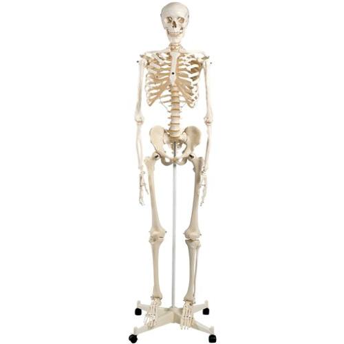 【送料無料】 人体模型 人体骨格モデルA10 高さ170cm 3B Scientific