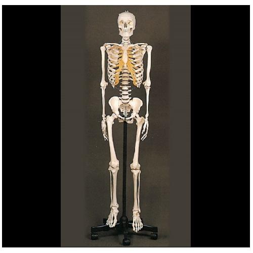 【送料無料】 等身大骨格模型 W38×D38×H184(本体170)cm 10.4kg QS10/1 ソムソ