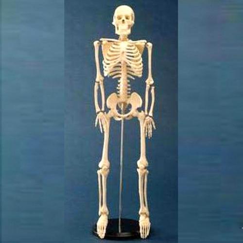 医療器と健康ショップ「元気爽快」のおすすめアイテム 【送料無料】 人体模型 ミニ人体骨格模型 高さ85cm タフリーインターナショナル