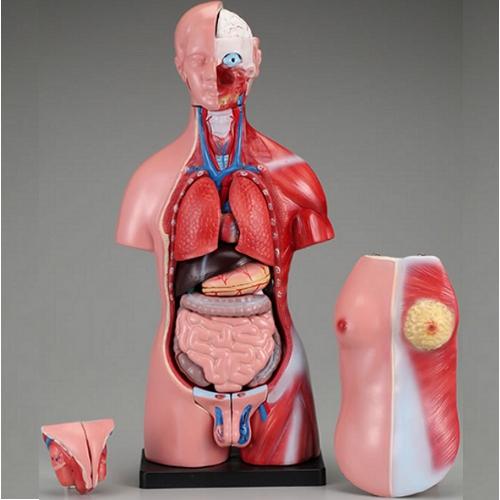 【送料無料】 人体模型 男女交換ミニトルソ 11.5×17.5×45cm タフリーインターナショナル
