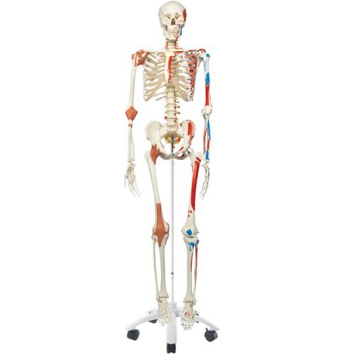 【送料無料】 模型Human Model 等身大骨格モデル -スーパースケルトン- 高さ170cm 8.2kg A13 3B Scientific