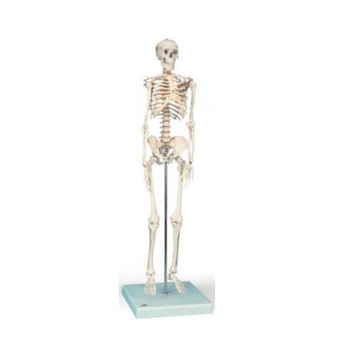 【送料無料】 模型Human Model 1/2縮尺型骨格モデル 高さ88cm 1.5kg A18 3B Scientific