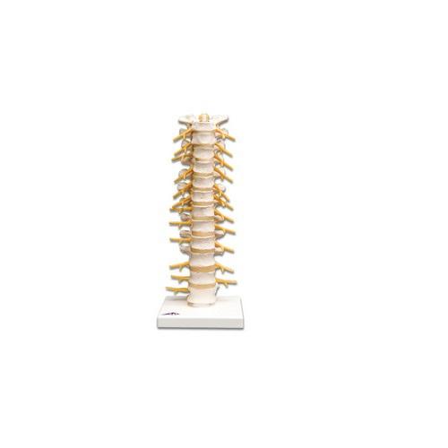 【送料無料】 模型Human Model 胸椎 12×12×32cm A73 3B Scientific