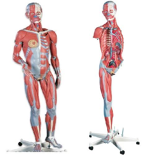 【送料無料】 模型Human Model 筋肉解剖45分解モデル/両性3/4サイズ 138×50×32cm 17kg B50 3B Scientific