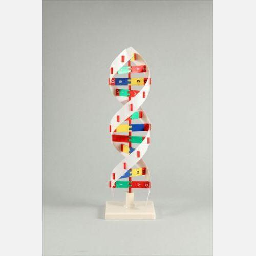 【送料無料】 DNAモデル B 8983 アーテック