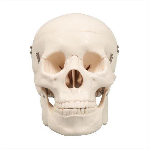 頭蓋骨模型 9700 アーテック