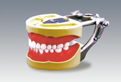 【送料無料】 顎模型 軟質歯肉 28歯 松風