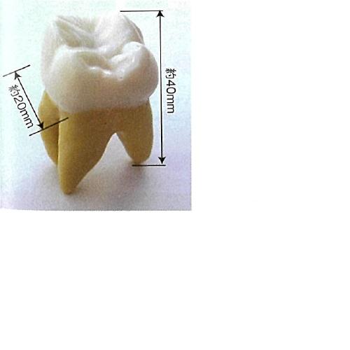 【送料無料】 モデル28 28歯