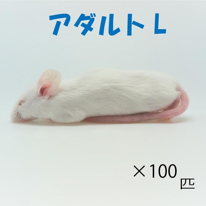 冷凍アダルトLマウス (100匹)約8.0cm/匹 冷凍マウス アダルト マウス ホワイトマウス 冷凍餌 エサ 猛禽類 爬虫類 両生類 大型魚の肉食ペット用 クール便発送:WAJO CLUB 店