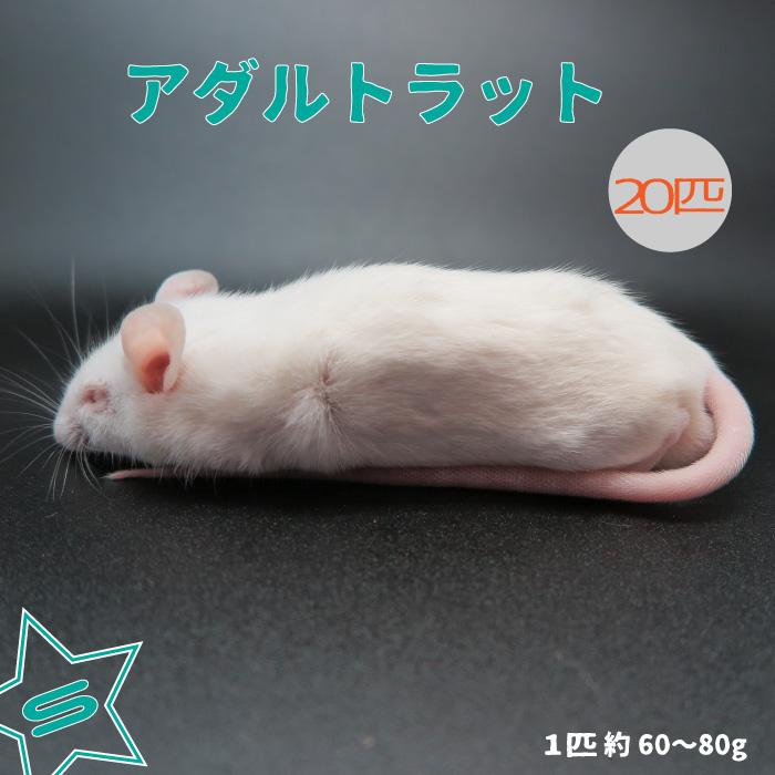 冷凍アダルトラット Sサイズ 約60~80g/匹 冷凍マウス アダルト 冷凍ネズミ 冷凍餌 エサ 猛禽類 爬虫類 両生類 肉食ペット用 クール便発送 20匹セット