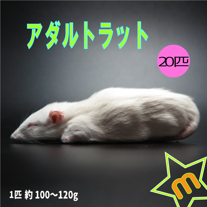 冷凍アダルトラット Mサイズ 約100~120g/匹 冷凍マウス アダルト 冷凍ネズミ 冷凍餌 エサ 猛禽類 爬虫類 両生類 肉食ペット用 クール便発送 20匹セット