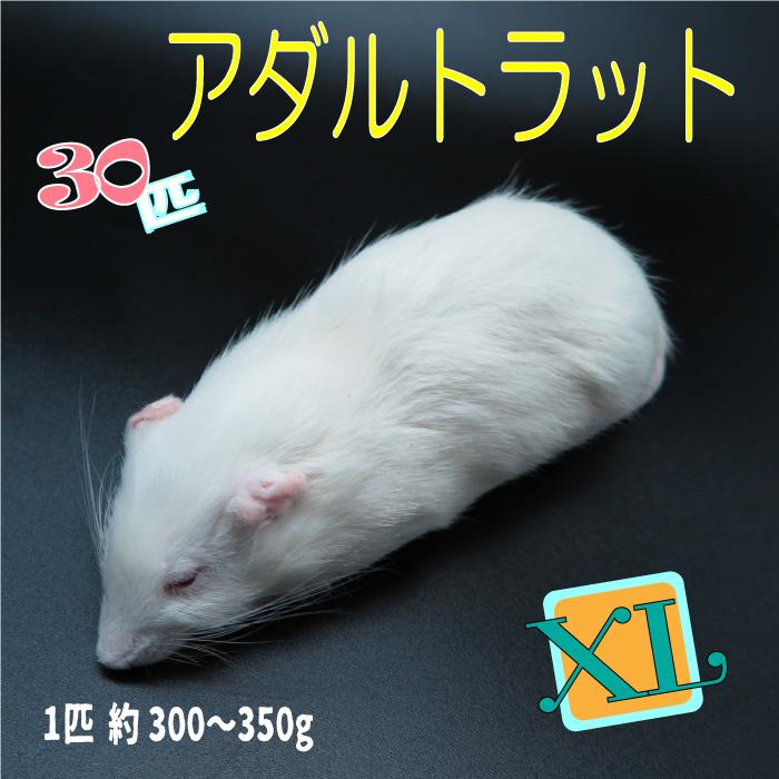 冷凍アダルトラット XLサイズ 約300~350g/匹 冷凍マウス アダルト 冷凍ネズミ 冷凍餌 エサ 猛禽類 爬虫類 両生類 肉食ペット用 クール便発送 30匹セット