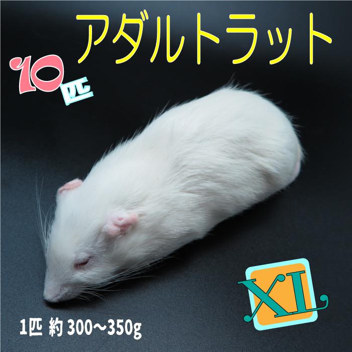冷凍アダルトラット XLサイズ 約300~350g/匹 冷凍マウス アダルト 冷凍ネズミ 冷凍餌 エサ 猛禽類 爬虫類 両生類 肉食ペット用 クール便発送 10匹セット