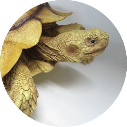 甲羅の大きな亀(ゾウガメ) 陸亀 置物 リアルな亀の置物 縁起物 幸運 金運 開運 健康 長寿 風水 健康運 幸せ 高級感 亀 ゾウガメ ぞうがめ かめ インテリア オブジェ 装飾 手作り